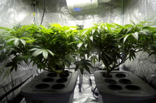 18-Indoor_cannabis_plants