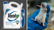RoundUp-Lab-Rat